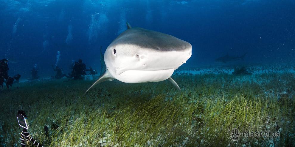 Акули Червоного моря: тигрова акула