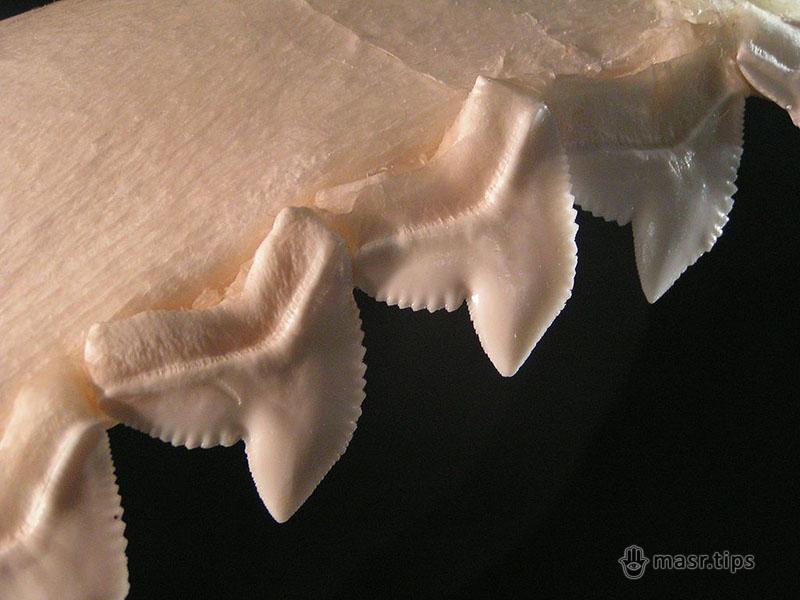 зуби тигрової акули