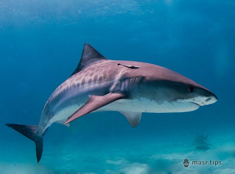 тигрова акула фото