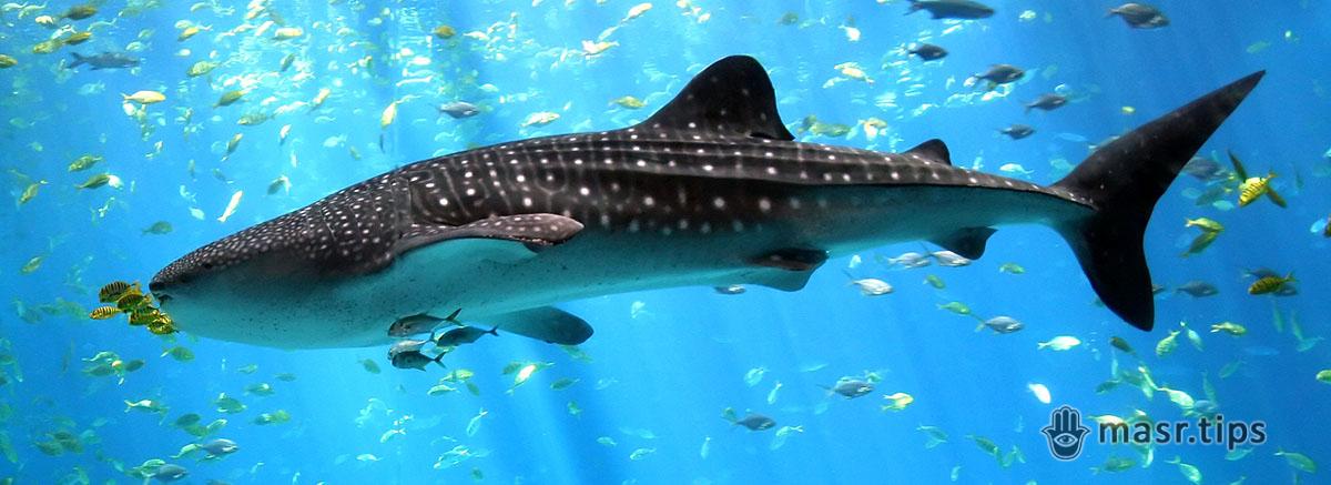 Акули Червоного моря: цікаві факти про китову акулу