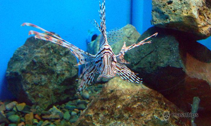 риба крилатка зебра