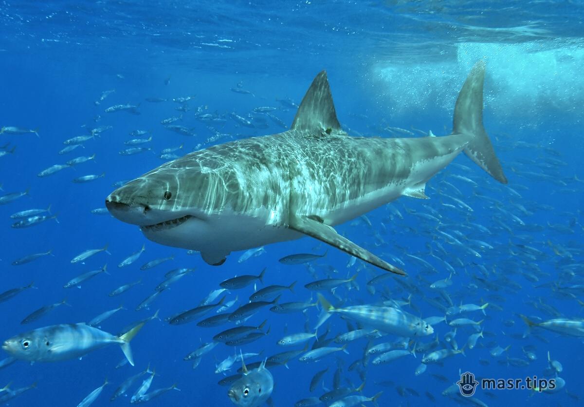 Акули Червоного моря: велика біла акула.