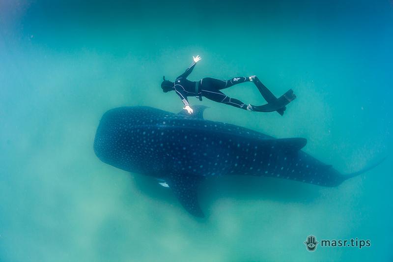 китова акула розміри