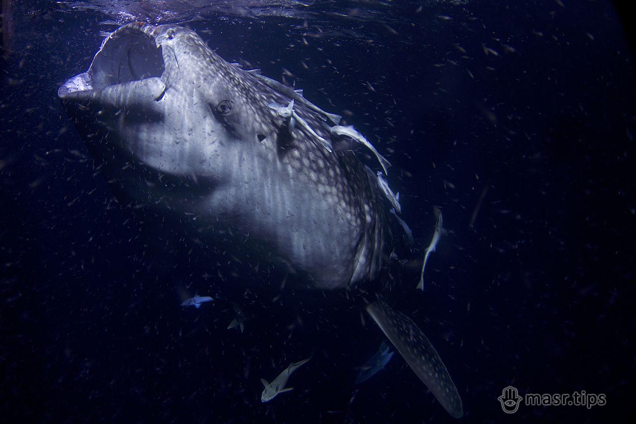 цікаві факти про китову акулу