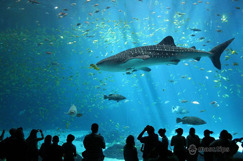 китова акула цікаві факти