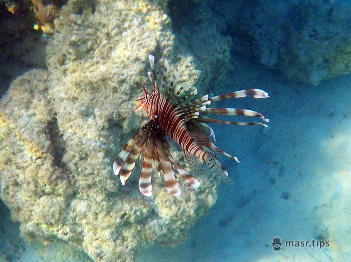 Риба-лев (Pterois miles, риба-крилатка): небезпечна краса