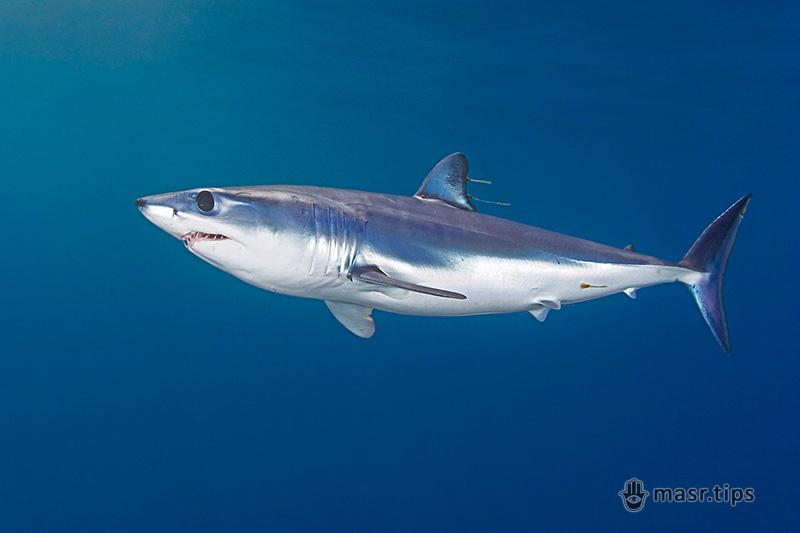 Акули Червоного моря: акула-мако
