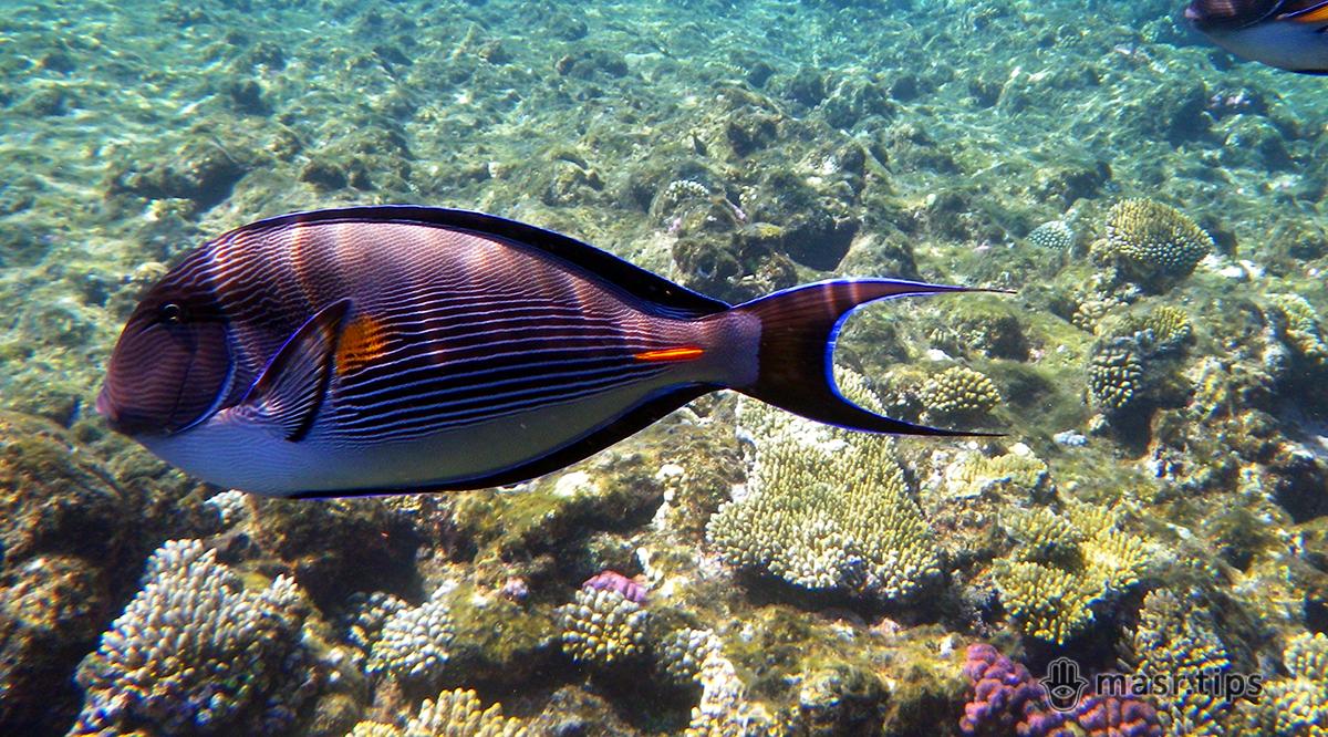 Риби Червоного моря: риба хірург (сохал)