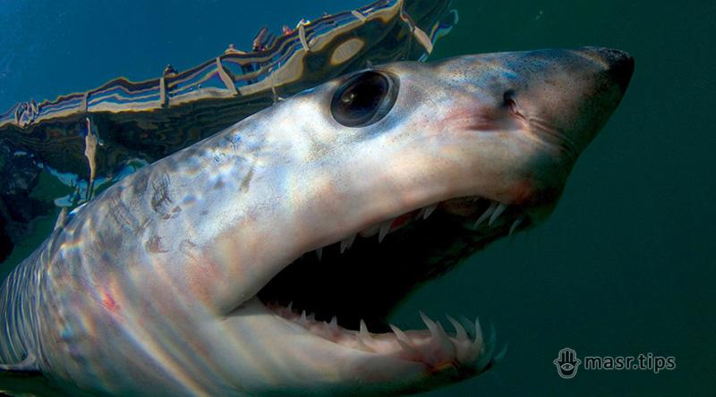 Акули в Червоному морі: напади та правила безпеки