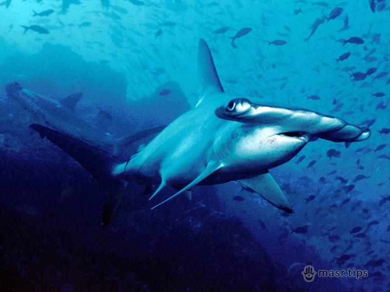 акула-молот зубчаста