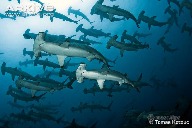 акула-молот бронзова