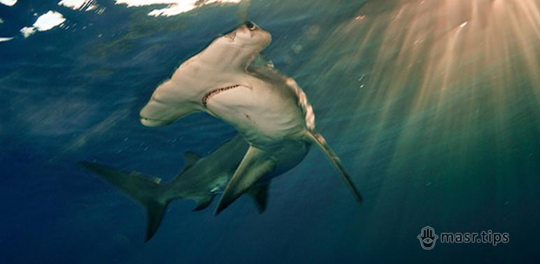 Акули Червоного моря: Акула-молот зубчаста (бронзова)