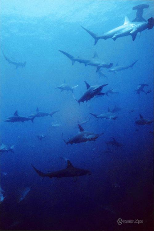 акула-молот фото