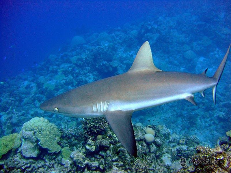 сіра рифова акула