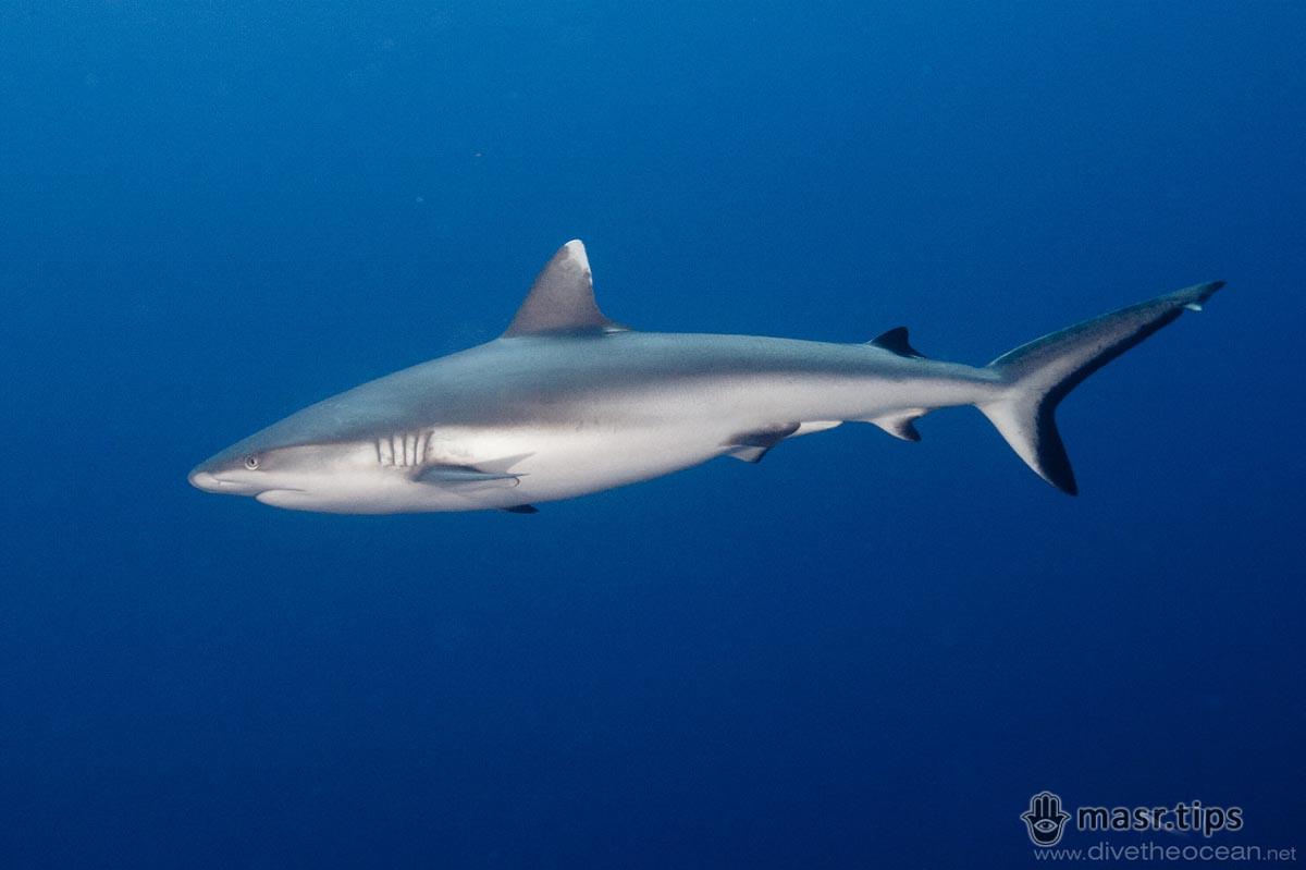 Риби Червоного моря: Сіра рифова акула (Carcharhinus amblyrhynchos)