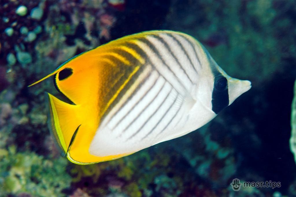 риба метелик