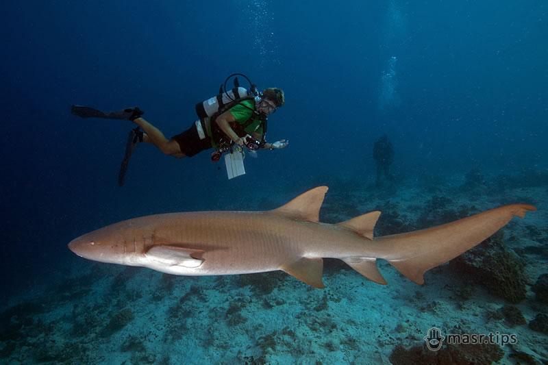 руда акула нянька