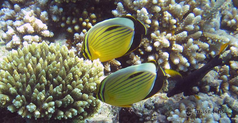Риби Червоного моря: чорнохвоста риба-метелик