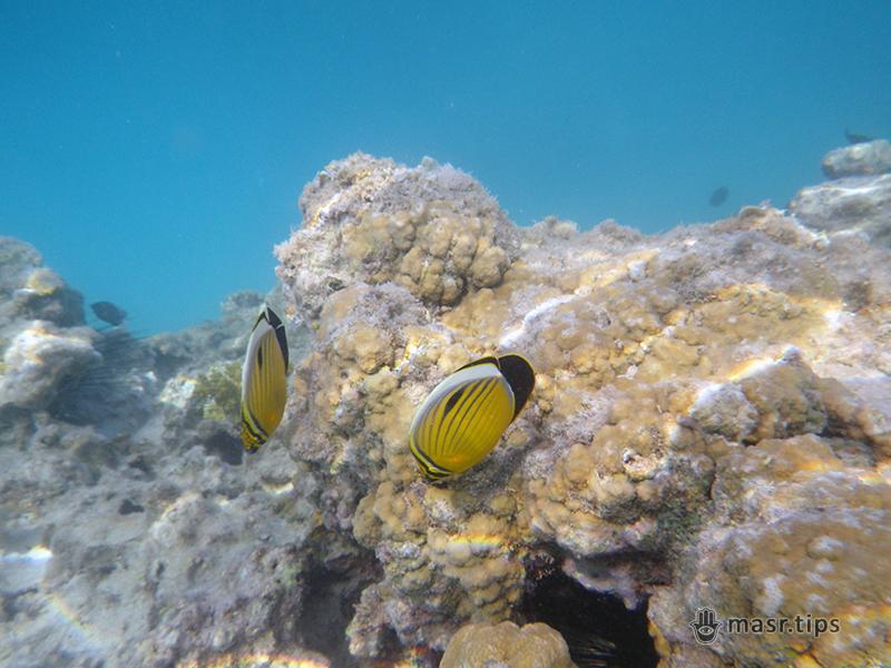 чорнохвоста риба метелик