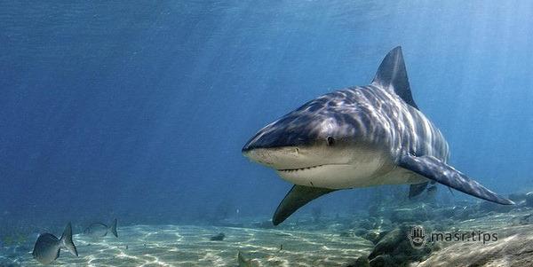 Тупорила акула, акула-бик, акула Замбезі, сіра бича акула (Carcharhinus leucas)