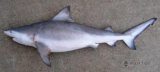 акула бик