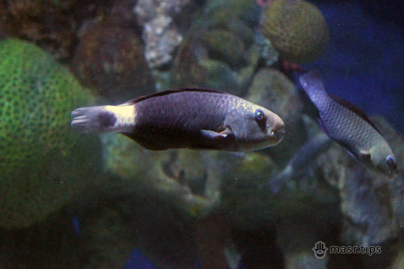 риба-папуга