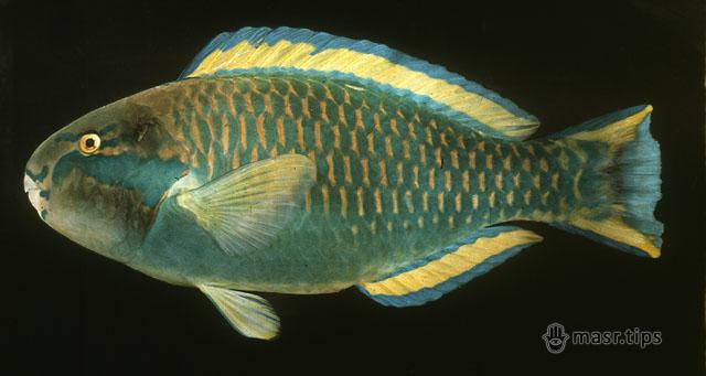 риба папуга