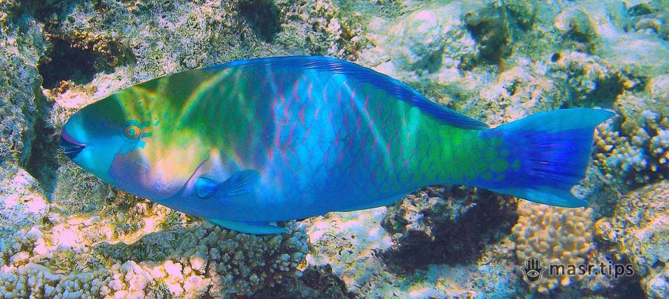 Риба-папуга: види в Червоному морі (частина перша)
