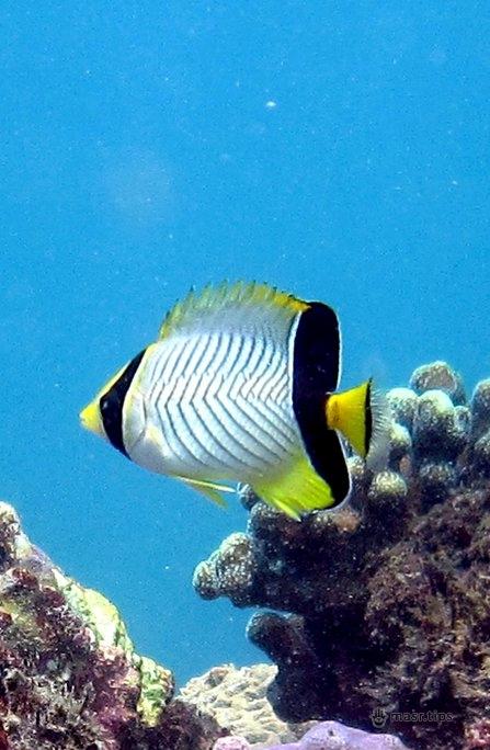 шевронна риба метелик