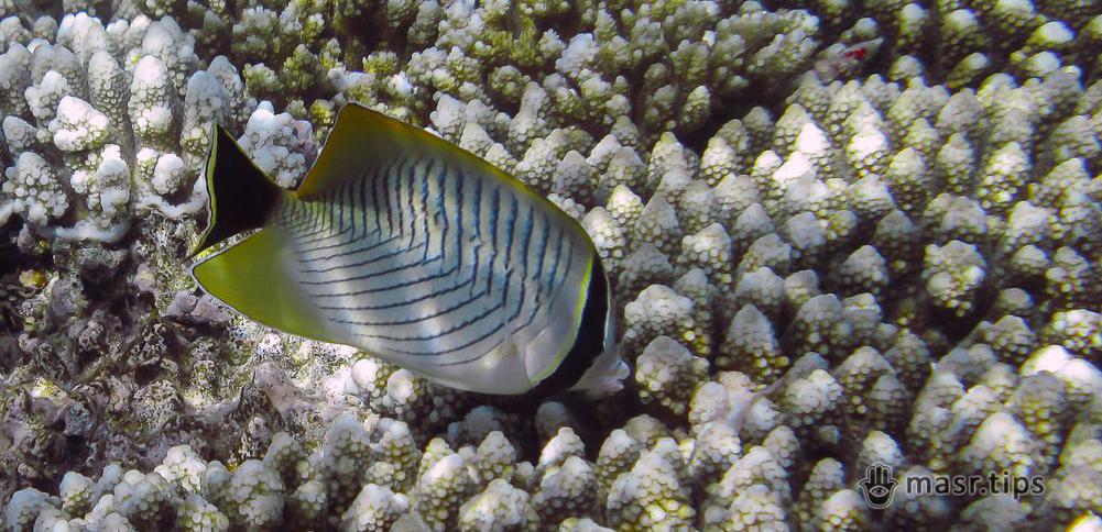 Шевронна риба-метелик (Chaetodon trifascialis)