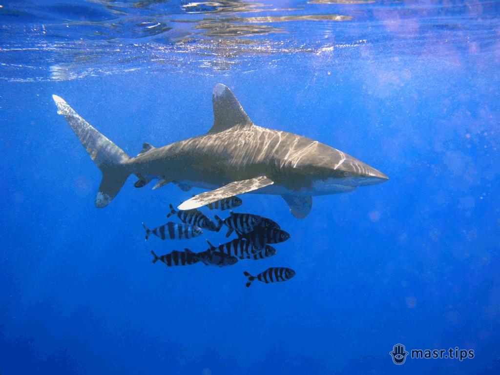 довгокрила акула