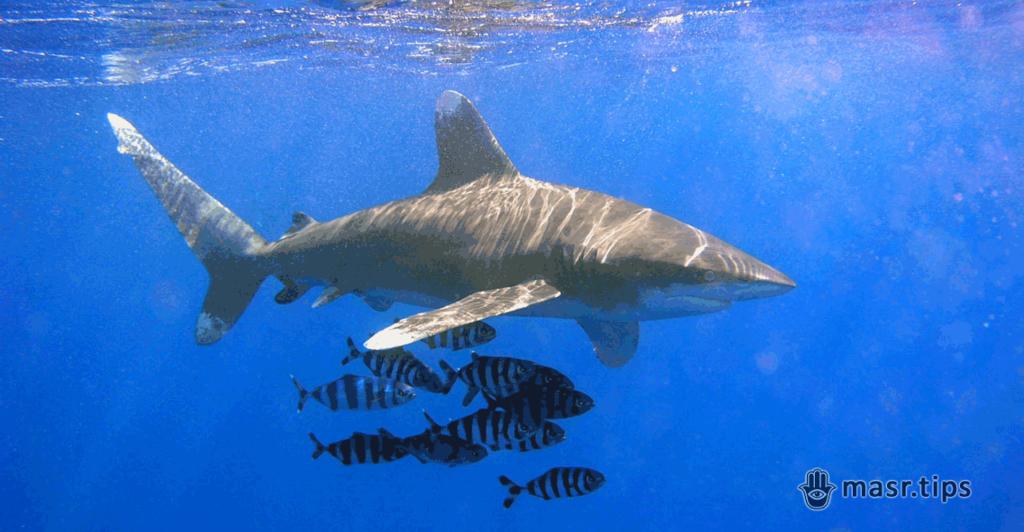 Акули в Червоному морі: довгокрила акула (Carcharhinus longimanus)