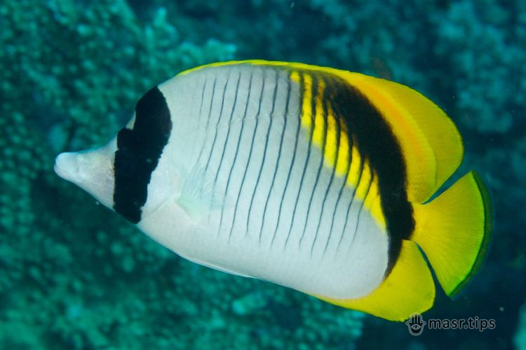 Лінійна риба-метелик – Lined butterflyfish – Chaetodon lineolatus