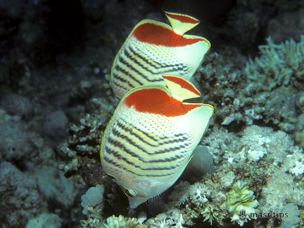 червоноспинна риба-метелик