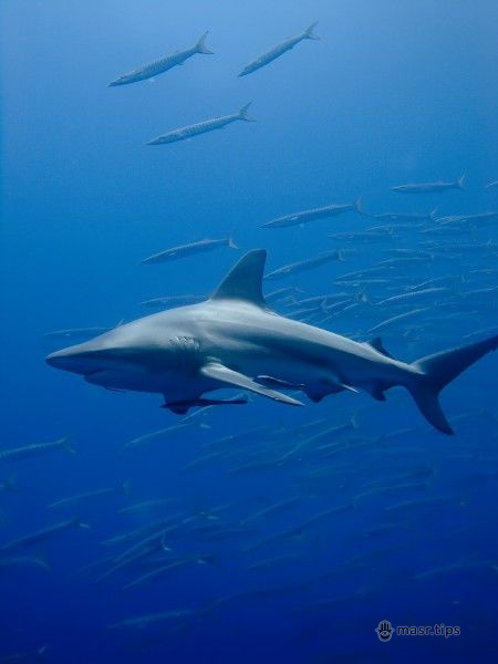 чорпера акула