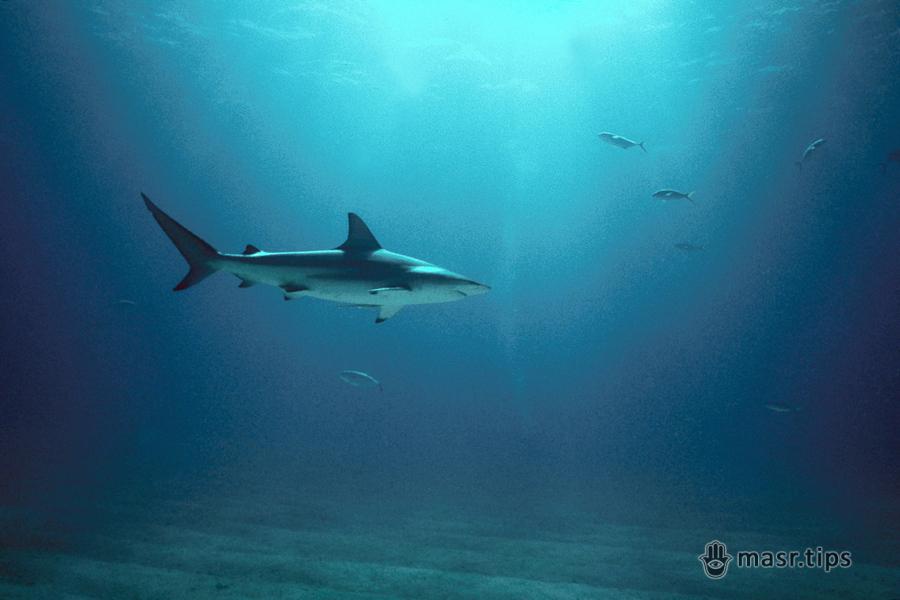 Акула чорнопера, або ще одна з роду Carcharhinus