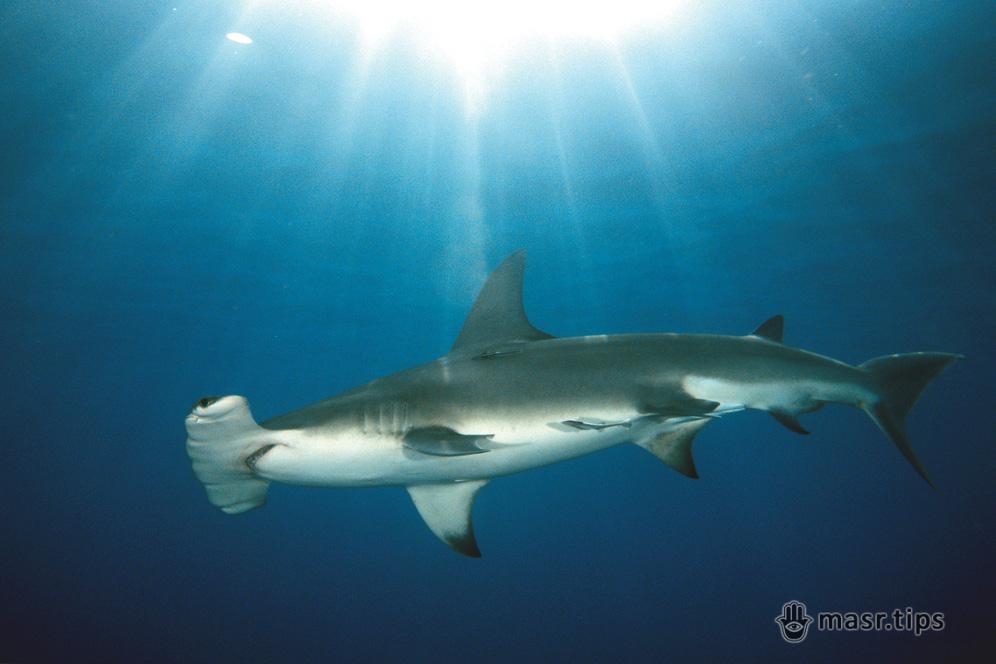 велика акула-молот