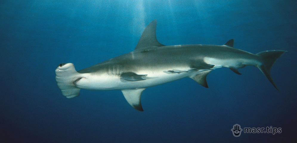Акули Червоного моря: велика акула-молот