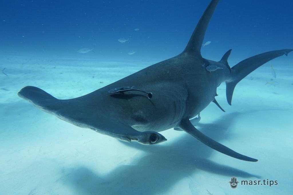 акула молот велика