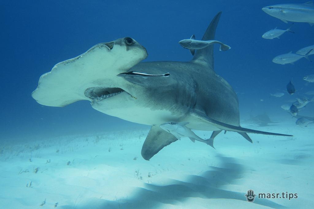 акула-молот велика