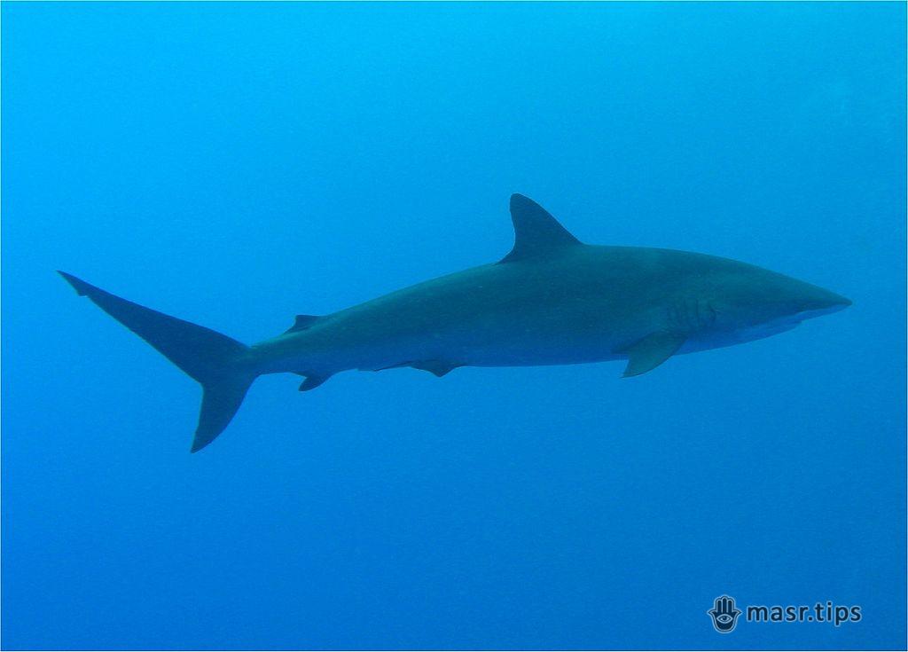 шовкова акула