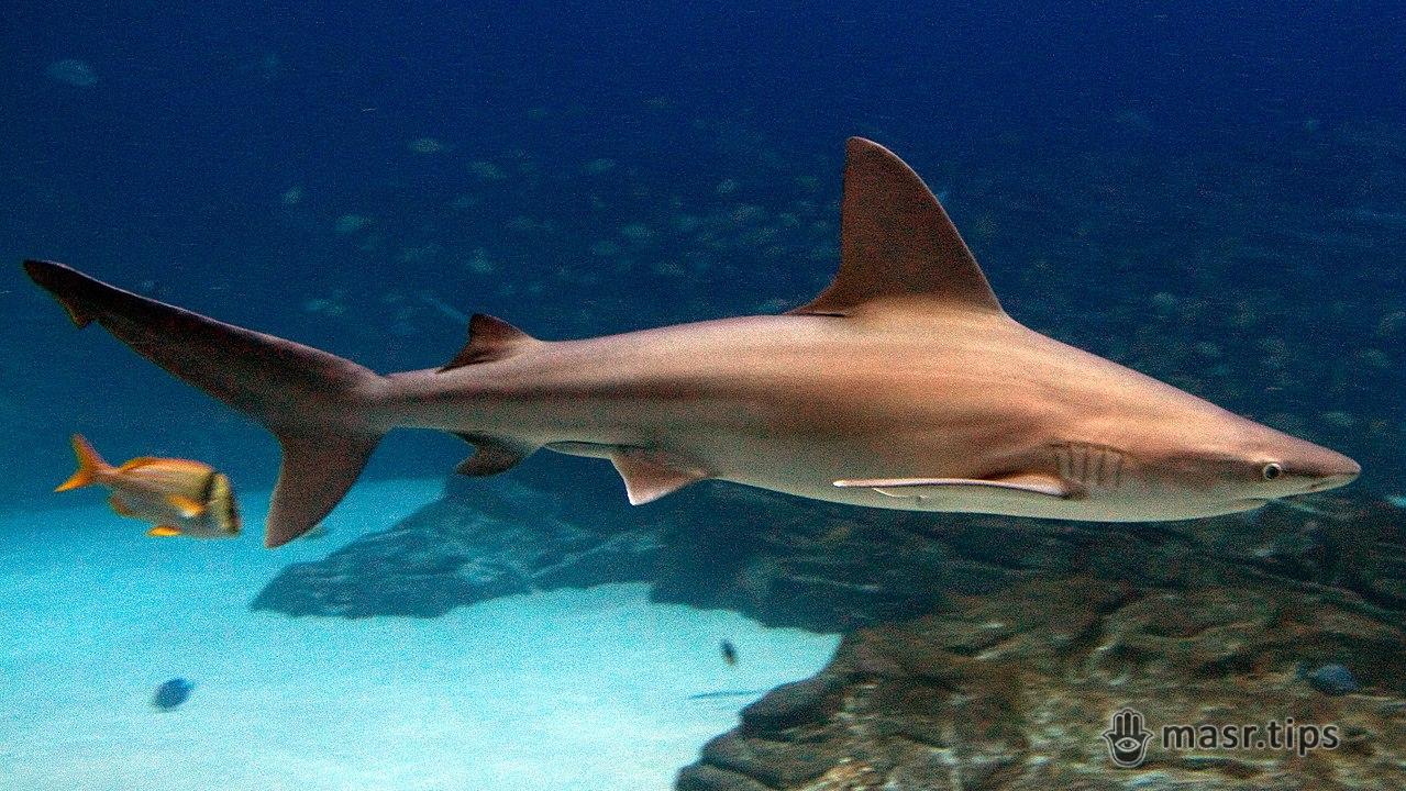Середземноморська або пісочна акула (Carcharhinus plumbeus)