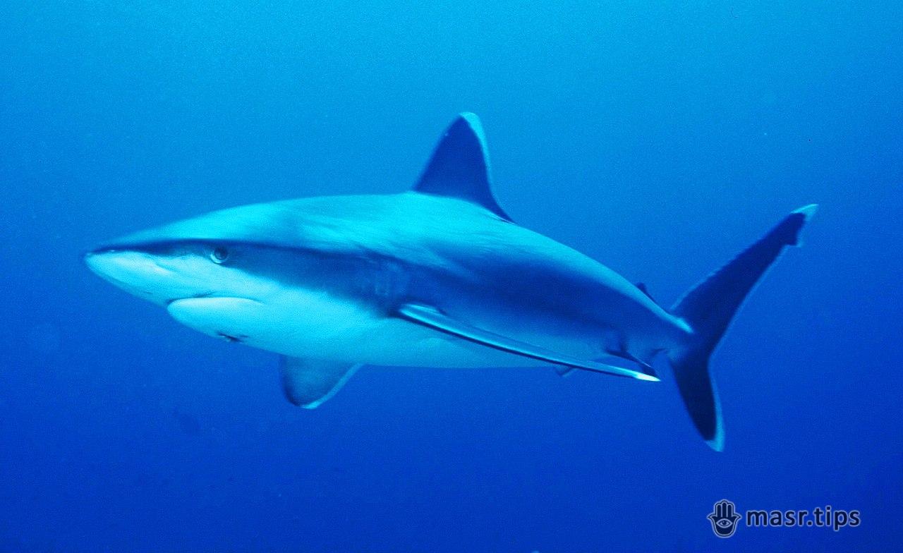 Акули в Червоному морі: срібнопера акула
