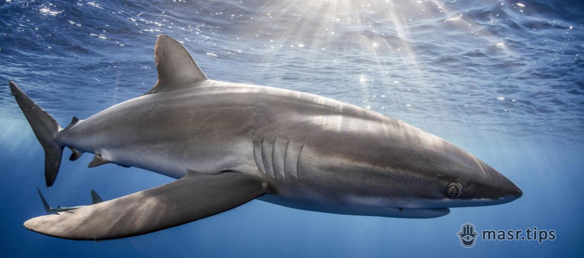 Шовкова акула: дійсно шовкова, але така уразлива