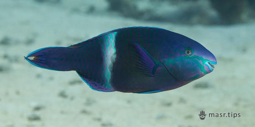 Риби-папуги Червоного моря (частина третя)