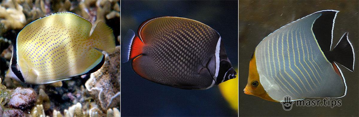 Риби Червоного моря: ще три риби-метелики