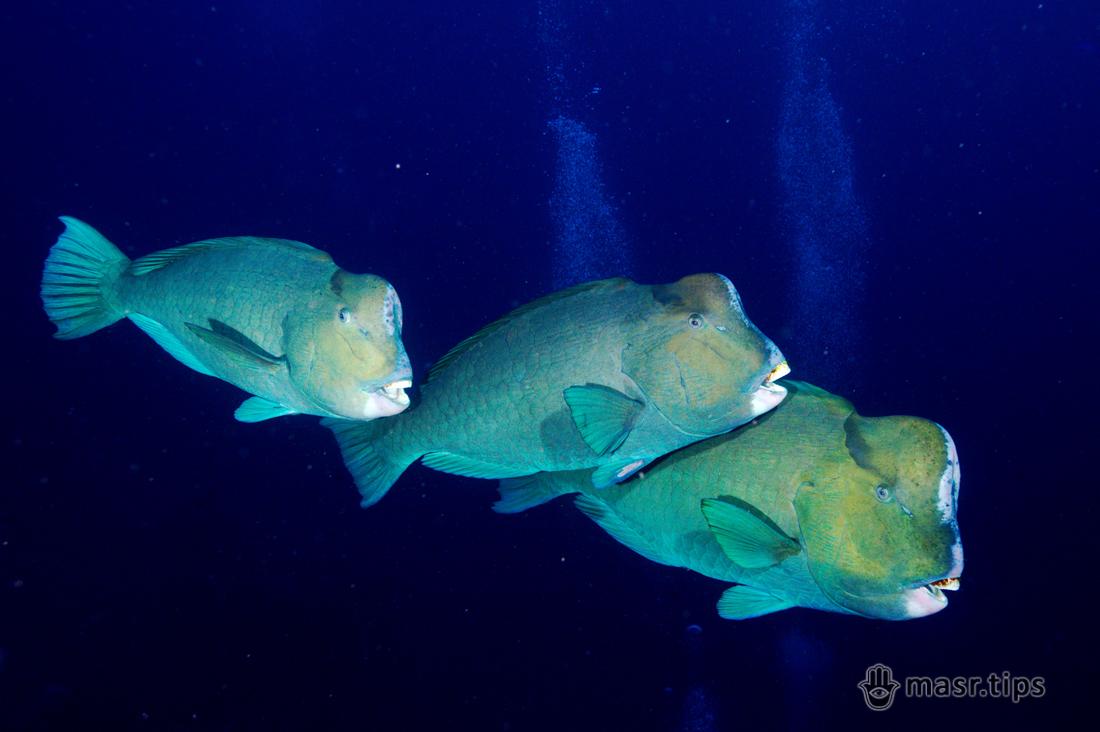 риби папуги