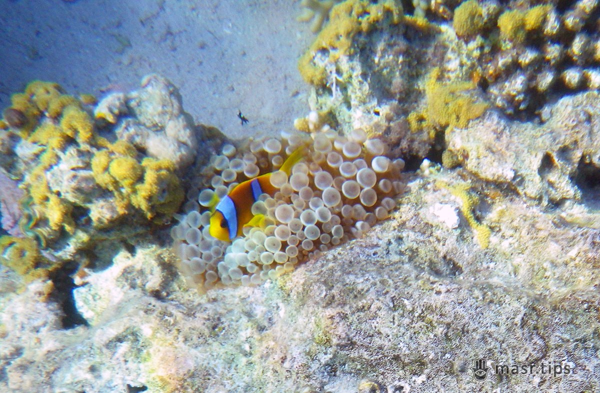 риба клоун фото
