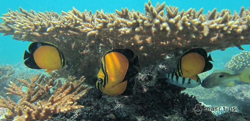 Корисна інформація про рибу-метелик: огляд чотирьох видів