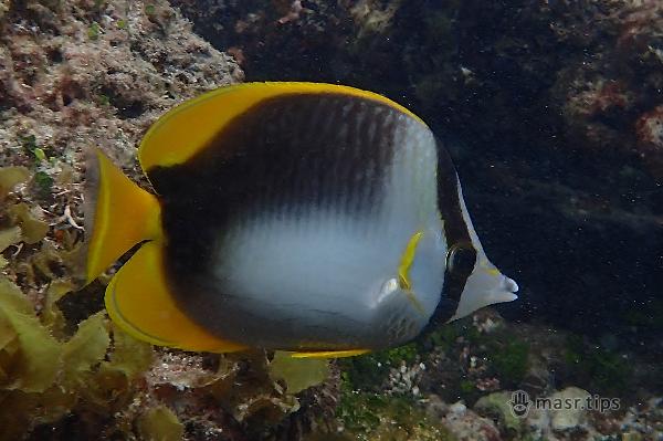 інформація про рибу-метелик